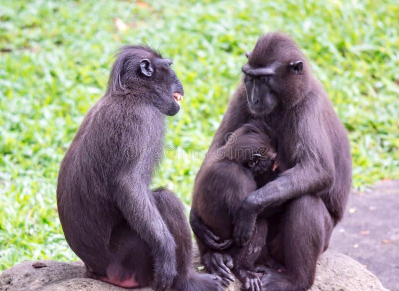 Kuifdiemacaque van Celebes ook als kuif zwarte macaque wordt bekend, royalty-vrije stock fotografie