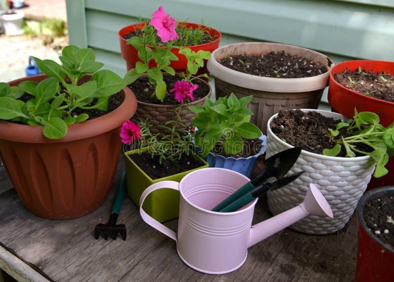 Kuifdrenken kan met gereedschap en drijfpoten met naailingen van petunia aan tafel buiten stock foto