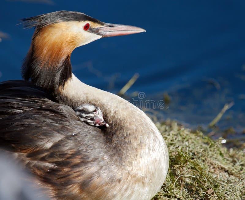 Kuiffuut, podiceps cristatus, eend en baby royalty-vrije stock fotografie