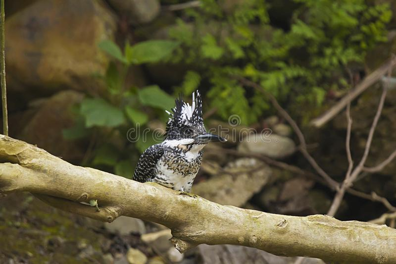 Kuifijsvogel, Ceryle-lugubris Corbett Tiger Reserve, Uttarakhand, India stock foto's
