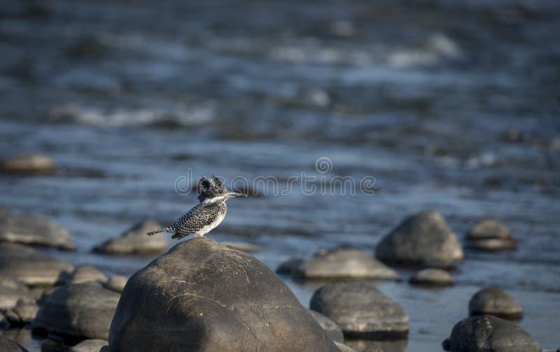 Kuifijsvogelzitting op een steen in rivier royalty-vrije stock afbeelding
