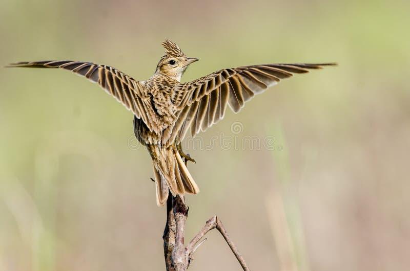 Kuifleeuwerik - Vogels royalty-vrije stock foto
