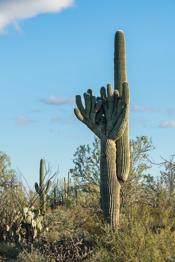Kuifsaguaro in Nationaal Park West-Tucson royalty-vrije stock foto's