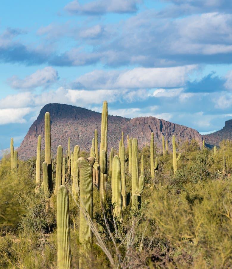 Kuifsaguaro in Nationaal Park West-Tucson royalty-vrije stock fotografie