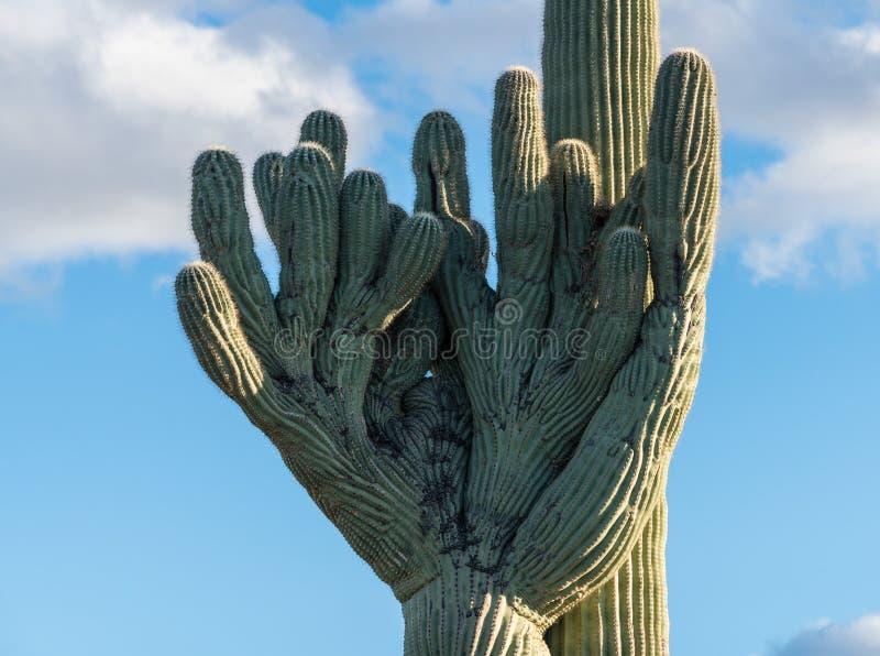 Kuifsaguaro in Nationaal Park West-Tucson royalty-vrije stock afbeeldingen