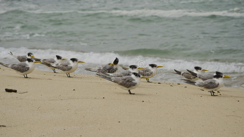 Kuifsternen op Strand royalty-vrije stock fotografie