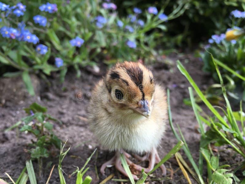 Kuiken van de één dag het oude fazant in openluchtmilieu's stock fotografie