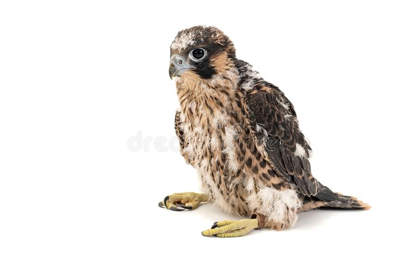 Kuikenfalco peregrine, Falco-peregrinus, op witte achtergrond 27 oude dagen royalty-vrije stock foto