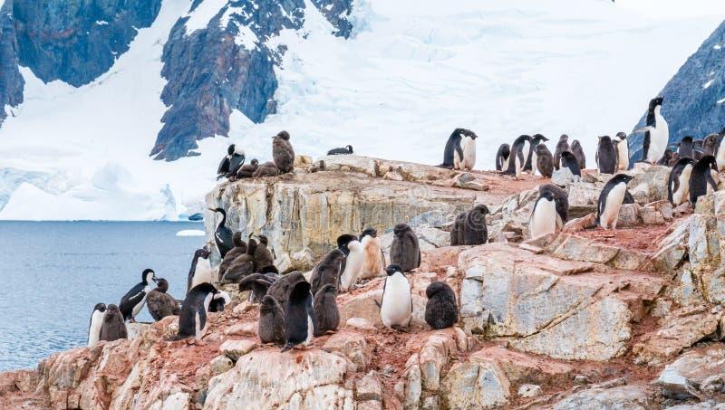 Kuikens en volwassen Adelie-pinguïnen, en Antarctische pluizig laken op Peterma royalty-vrije stock foto's