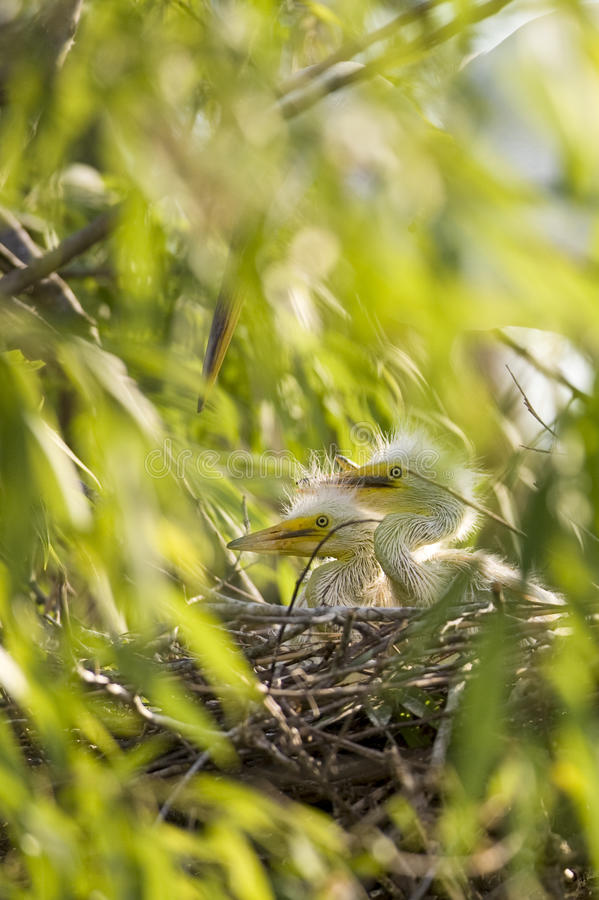 Kuikens in nest royalty-vrije stock foto