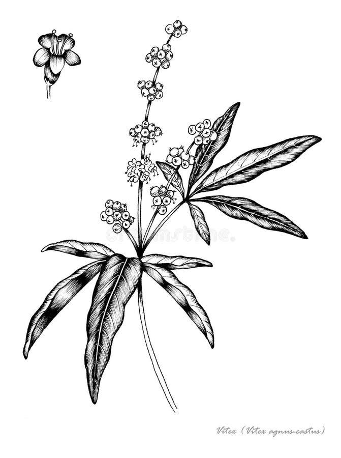 Kuisboom stock illustratie