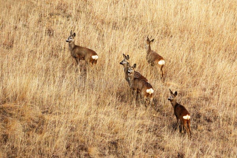 Kuitendeers in langzaam verdwenen gras royalty-vrije stock afbeelding