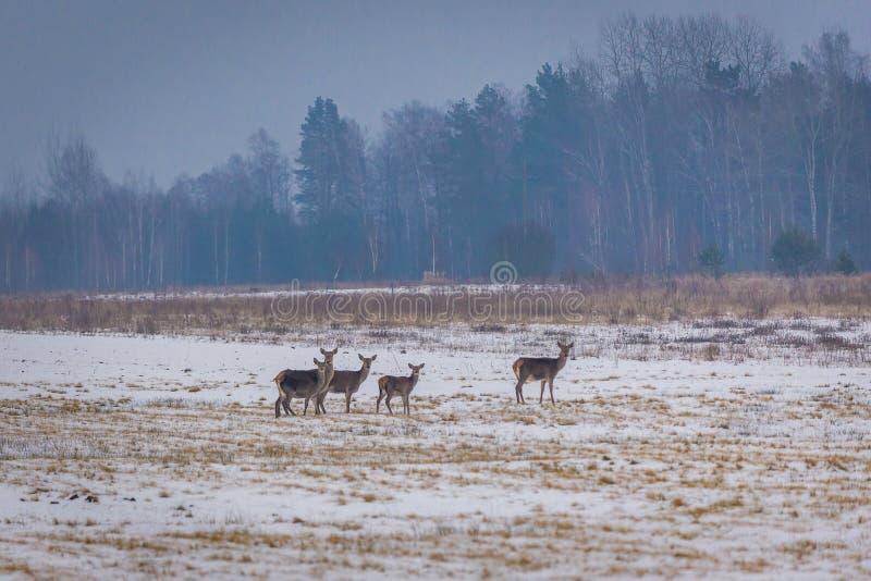 Kuitendeers in Polen royalty-vrije stock foto's