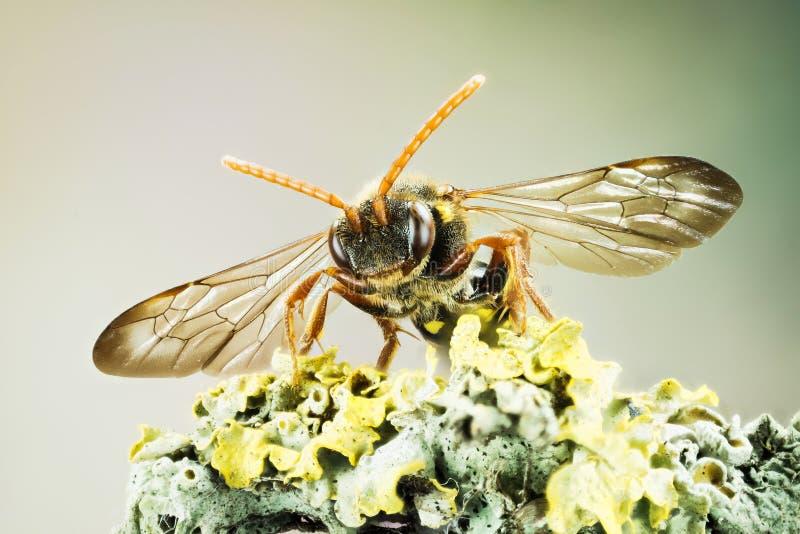 Kukułki pszczoła, Nomada, pszczoła zdjęcia royalty free