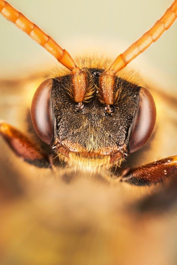 Kukułki pszczoła, Nomada, pszczoła obrazy stock