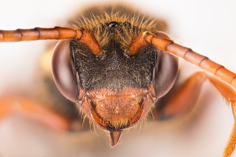 Kukułki pszczoła, Nomada, pszczoła zdjęcia stock