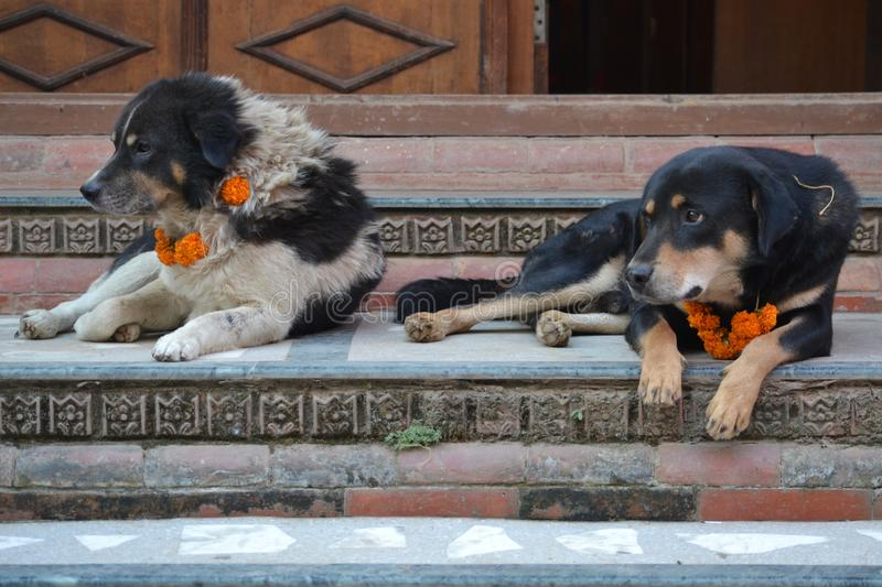 Street Dogs on Stairs on Dog Festival in Kathmandu stock images