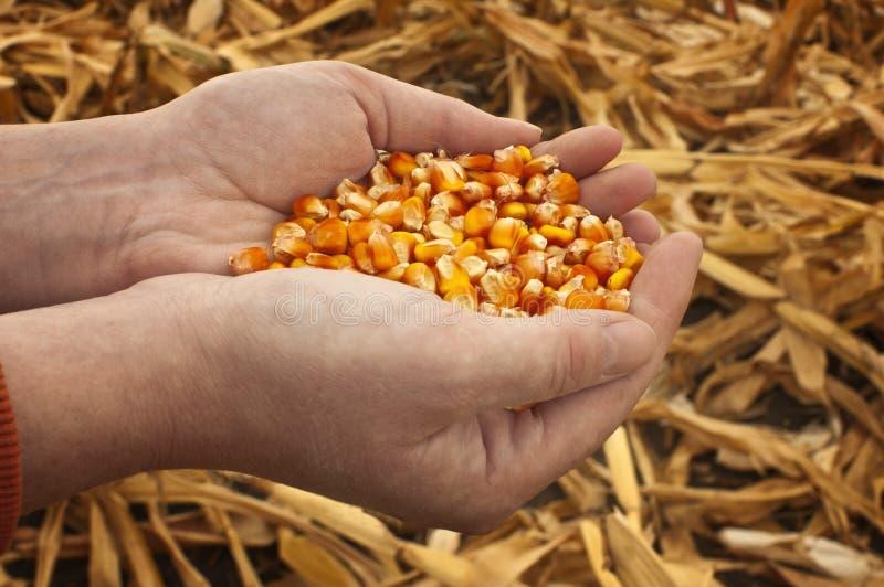 Kukurudz ziarna w żeńskie ręki. zdjęcie royalty free