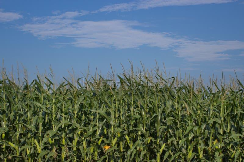 Kukurudza obrazy stock