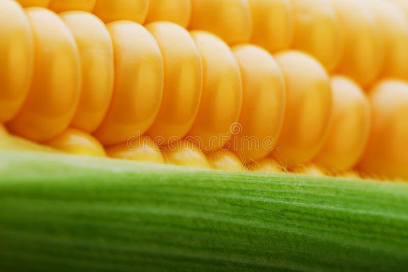 Kukurudza groszkuje wewnątrz w górę zbliżenia, rzędy świezi i dojrzali żółci kukurydzani nasiona, kukurydzany cob W górę ekranu,  zdjęcia royalty free