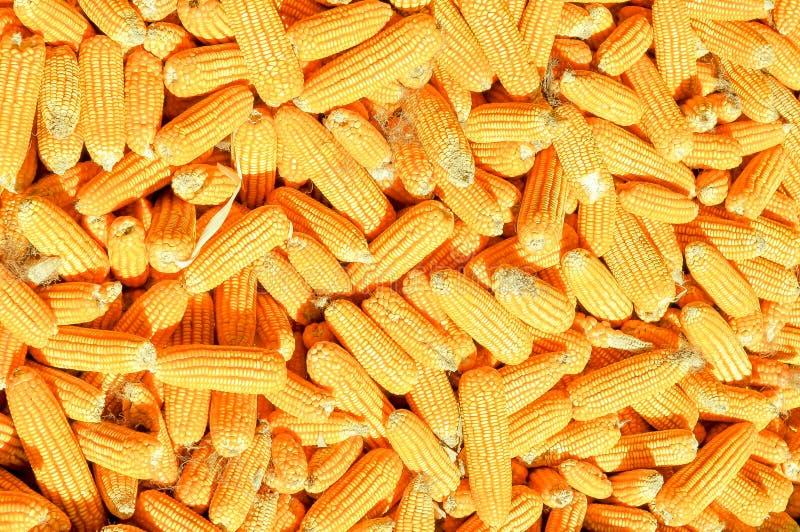 Kukurudza koniec dobry dla karmy zwierzęcia domowego obrazy stock