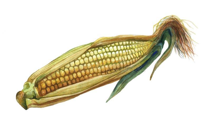 Kukurudza, kukurydza Ręka rysujący akwarela obraz royalty ilustracja