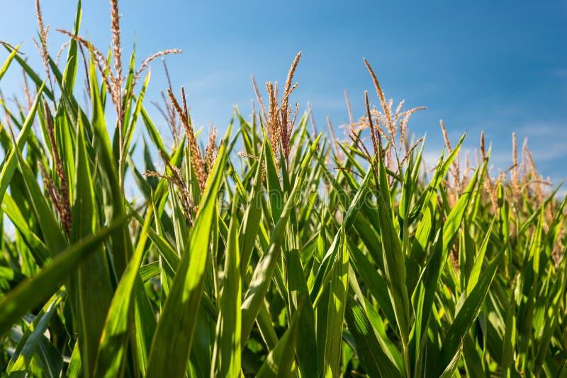 Kukurudza liście zaświecali słońcem na gorącym letnim dniu z pięknym niebieskim niebem w tle obraz royalty free