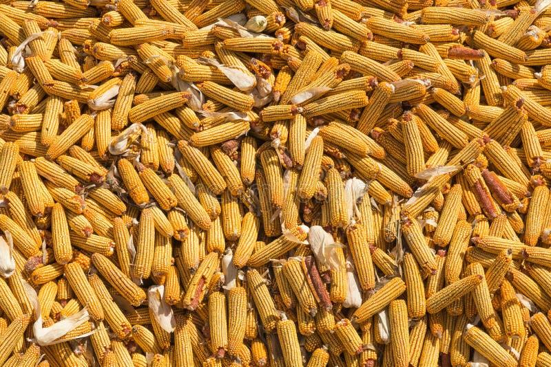 Kukurudza zbiera w jesieni zdjęcia stock