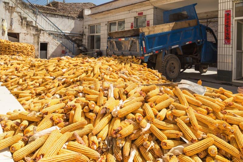 Kukurudza zbiera w jesieni zdjęcie stock