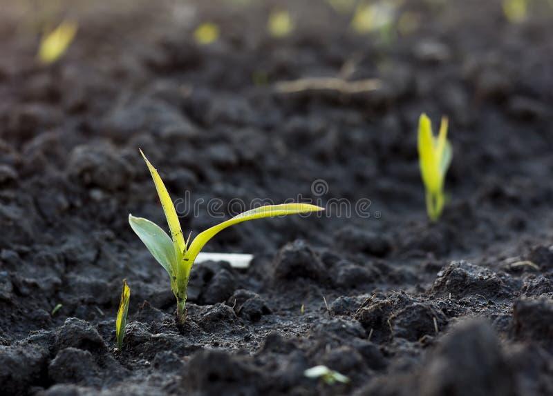 Kukurudzy flanca w ziemi na polu zdjęcie stock