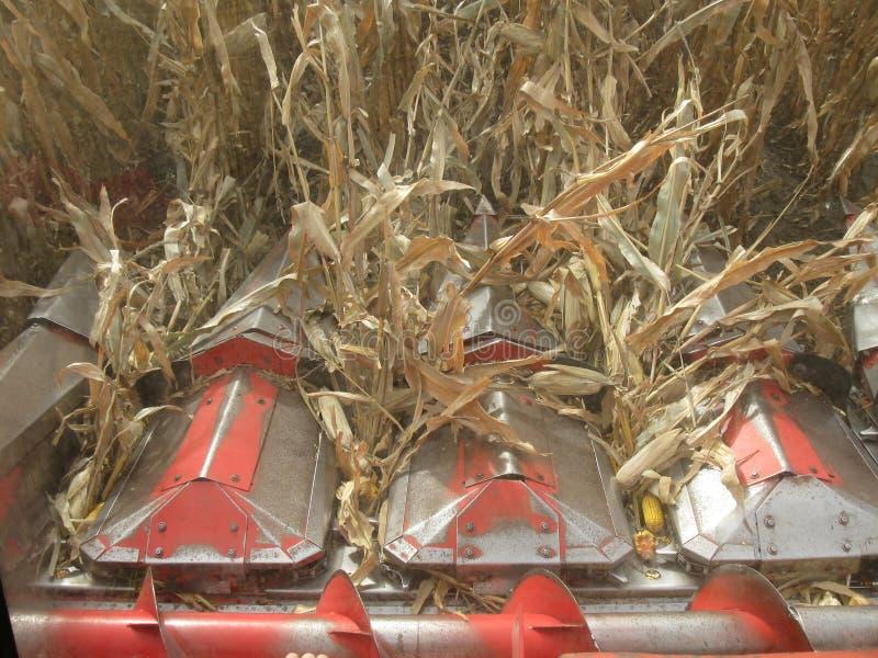 Kukurudzy głowa zbiera kukurudzy syndykat obraz stock