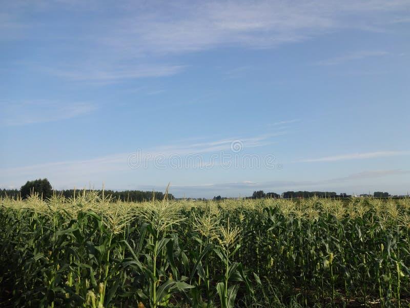 Kukurudzy gospodarstwo rolne przy Japonia, Tokachi obrazy royalty free