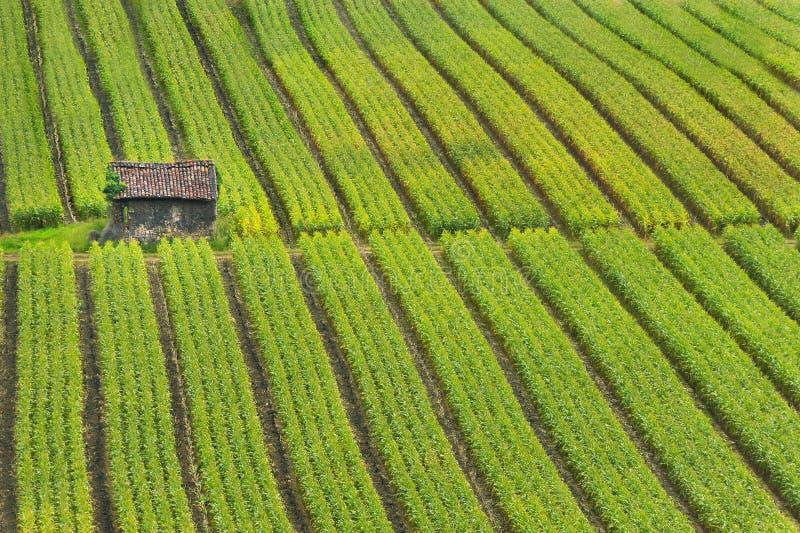 Kukurudzy pole obrazy royalty free