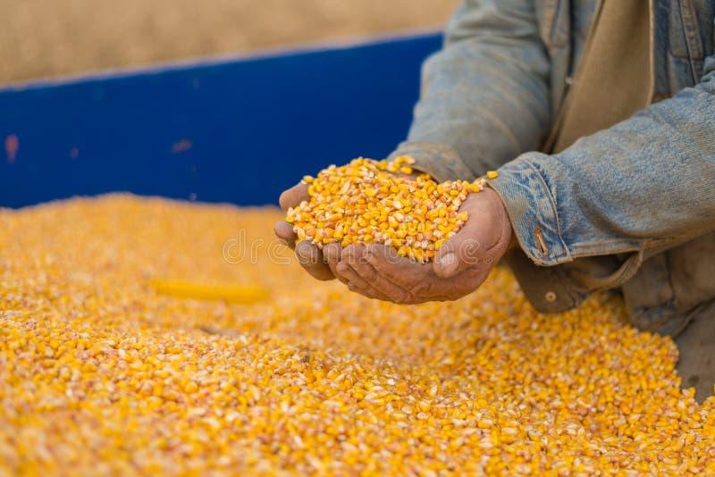 Kukurudzy ziarno w ręce rolnik fotografia stock