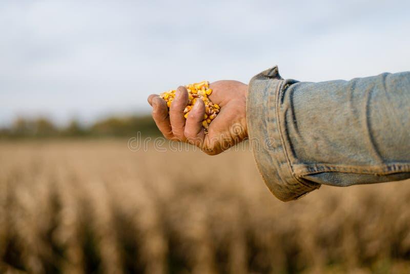 Kukurudzy ziarno w ręce rolnik obrazy royalty free