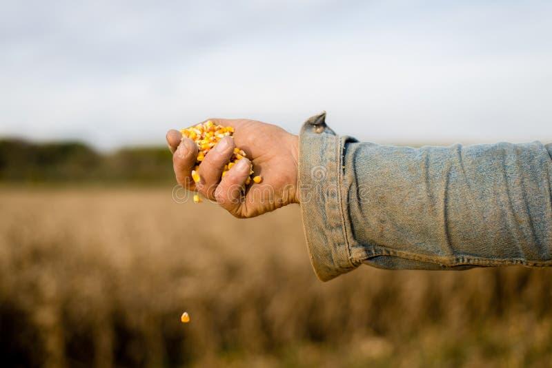 Kukurudzy ziarno w ręce rolnik obraz royalty free