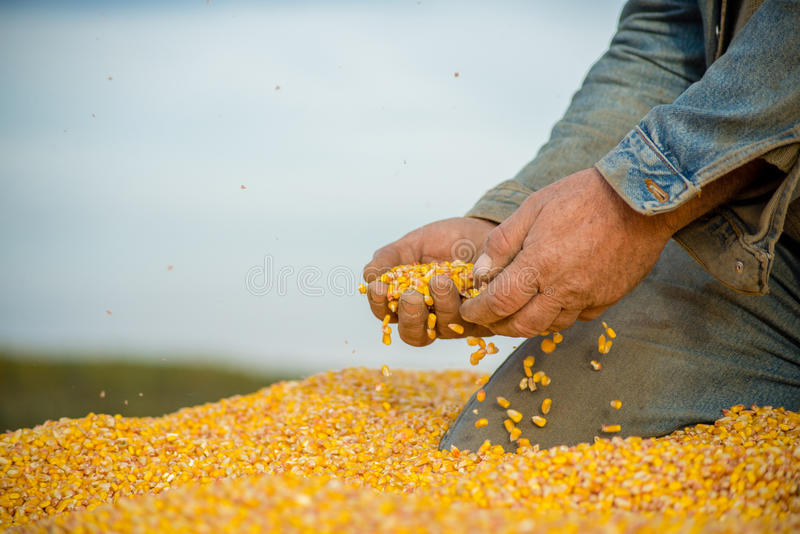 Kukurudzy ziarno w ręce rolnik obraz stock