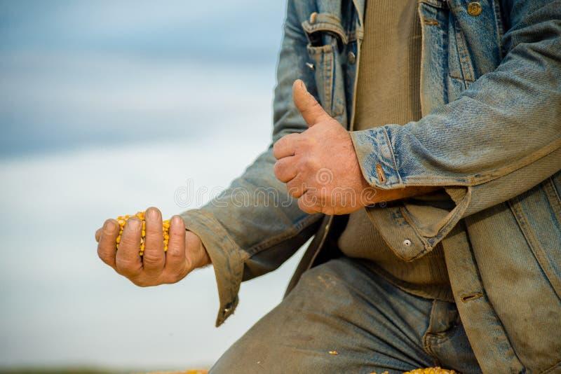 Kukurudzy ziarno w ręce rolnik zdjęcia stock