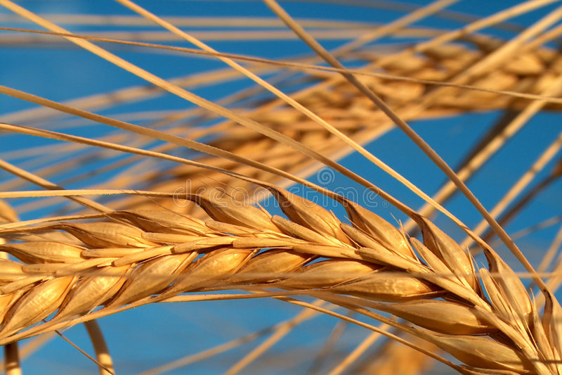Download Kukurydza zdjęcie stock. Obraz złożonej z grainer, rolnictwo - 28380