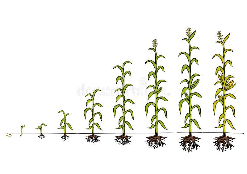 Kukurydza rozwoju diagram Sceny przyrost royalty ilustracja