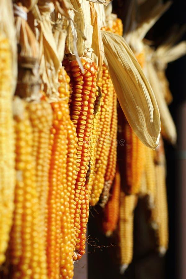 kukurydza zawieszająca obraz royalty free
