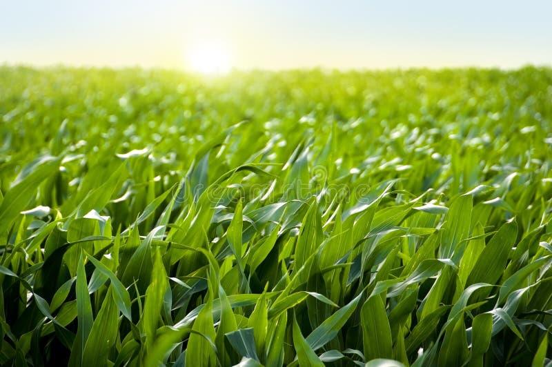 kukurydzanego pola kukurydzy zmierzch zdjęcia royalty free