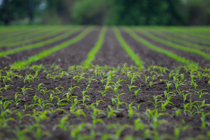 kukurydzanego pola ranek wiosna potomstwa zdjęcie royalty free