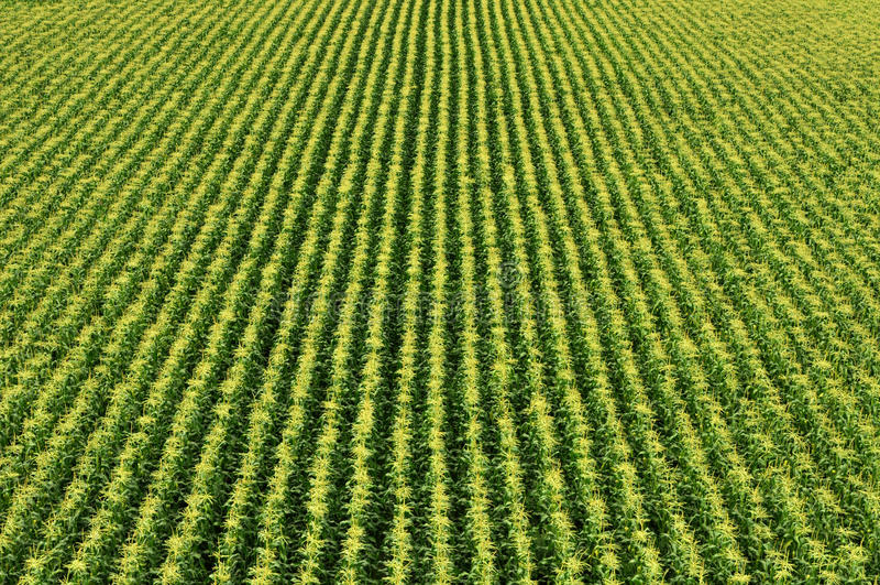 kukurydzanego pola sweetcorn zdjęcie royalty free