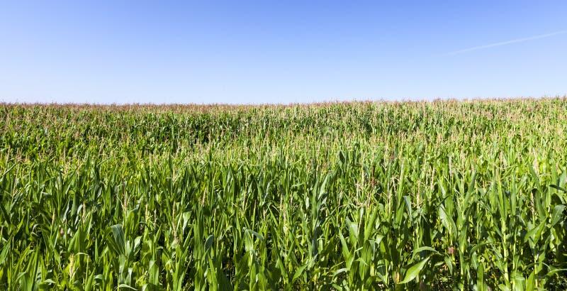 kukurydzanego pola zieleń fotografia stock