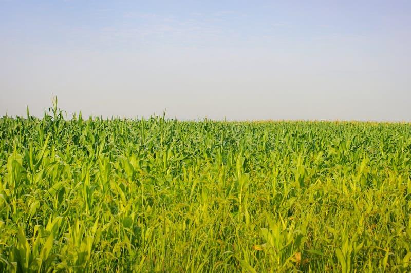 kukurydzanego pola zieleń obraz royalty free