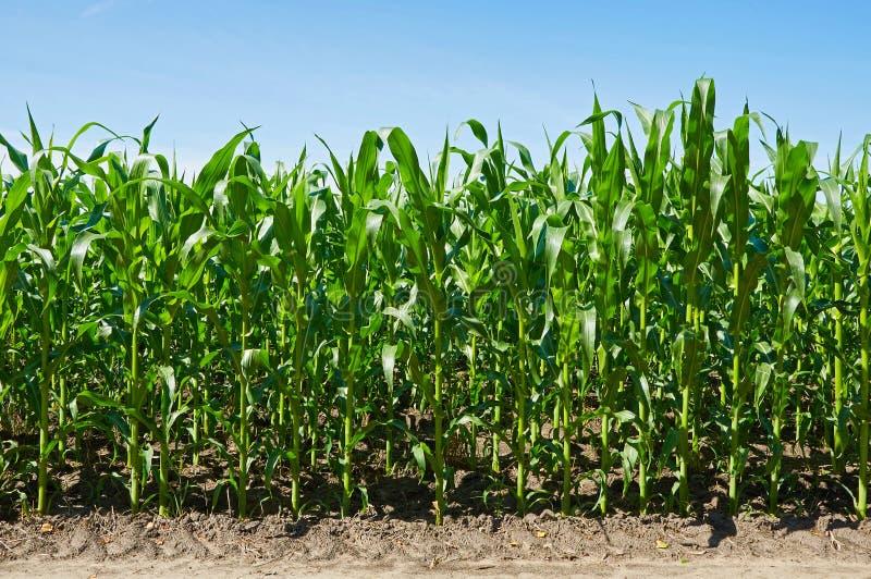 Download Kukurydzanego pola zieleń zdjęcie stock. Obraz złożonej z rolnictwo - 57674548
