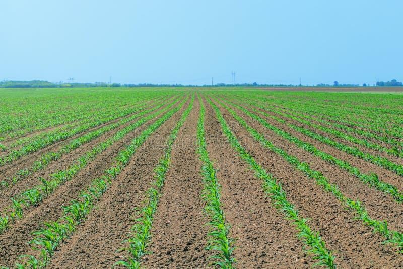 kukurydzanego pola zieleni potomstwa Rzędu Zielony Kukurydzany pole obrazy stock