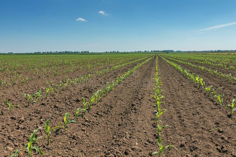 kukurydzanego pola zieleni potomstwa Rzędu Zielony Kukurydzany pole zdjęcie royalty free