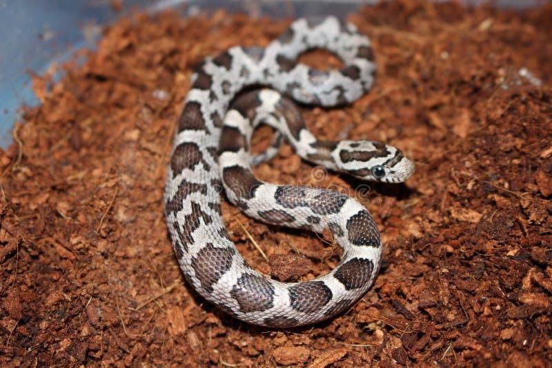 Kukurydzanego węża dziecko zdjęcie royalty free
